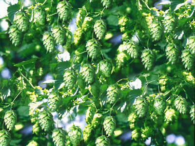 Description: Công đoạn đun sôi & Bổ sung hoa bia